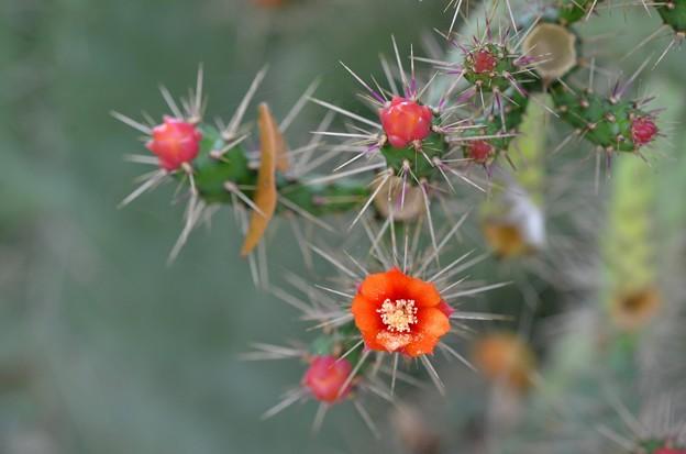 Florida Semaphore Cactus 11-27-18