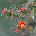 Photos: Florida Semaphore Cactus 11-27-18