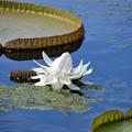 Photos: Giant Waterlily 10-7-19