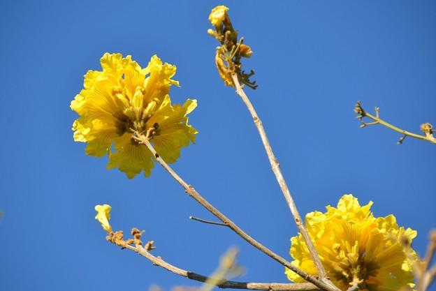 Yellow Trumpet Tree 4-23-19