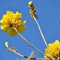 Photos: Yellow Trumpet Tree 4-23-19