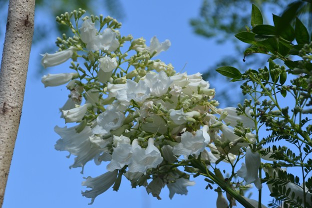 White Jacaranda 5-4-19