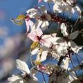 Peach Blossom Cassia 4-23-19