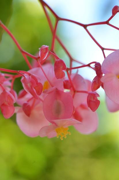 Angel Wing Begonia I 4-23-19