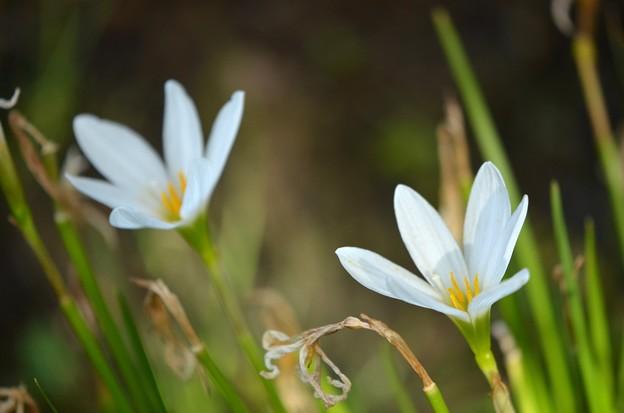 Zephyrlilies 10-7-19