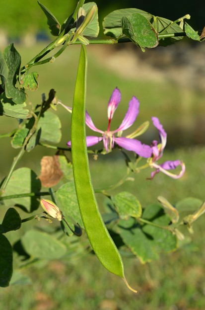 Purple Orchid Tree II 11-28-18