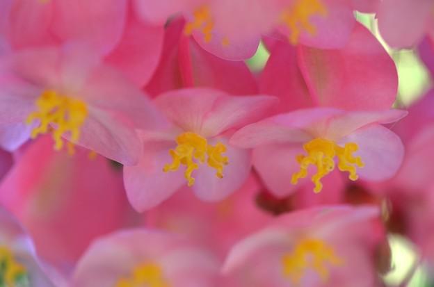 Angel Wing Begonia III 4-23-19
