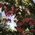 Angel Wing Begonia V 4-23-19
