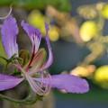 Purple Orchid Tree IV 11-28-18