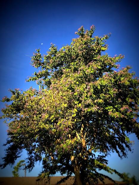 Purple Orchid Tree V 11-28-18