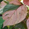 Acalypha wilkesiana 12-10-19