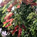 フロリダの紅葉 11-11-19