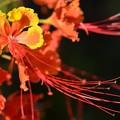 Peacock Flower in the light 4-23-19