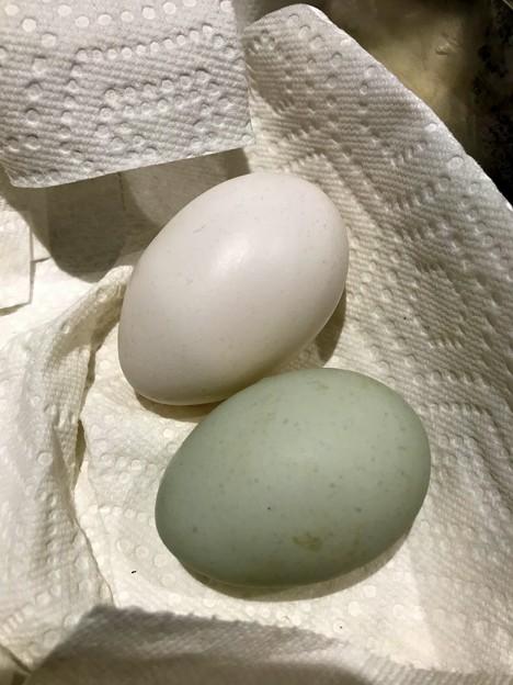 Blue Egg 11-16-19