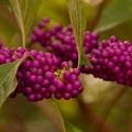 Photos: Beautyberries 12-10-19