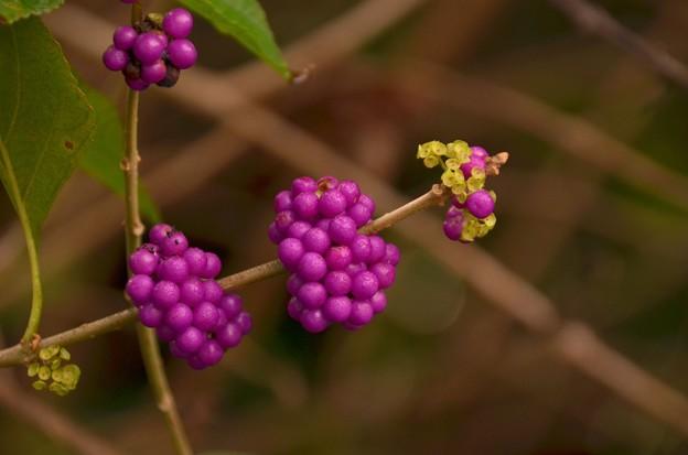 Photos: Callicarpa americana 12-10-19