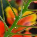 Photos: The Dews of Peacock Flower 4-23-19