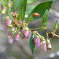 Lyonia lucida 2-3-20