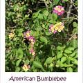 American Bumblebee I 3-5-20
