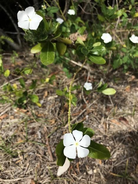 Madagascar Periwinkle 3-5-20