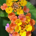 Photos: West Indian Lantana V 3-6-20