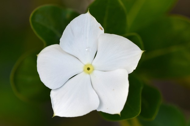 Madagascar Periwinkle III 3-6-20