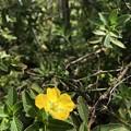 Peruvian Primrose-Willow 3-9-20