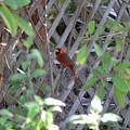 Photos: Northern Cardinal 3-15-20