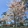 Pink Shower Tree 4-2-20
