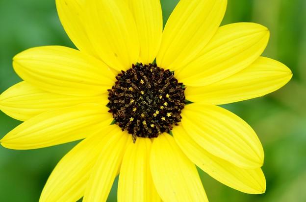 Cucumberleaf Sunflower 3-15-20
