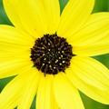 Photos: Cucumberleaf Sunflower 3-15-20