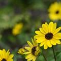 Photos: Cucumberleaf Sunflowers 3-15-20