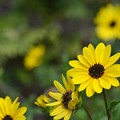 Cucumberleaf Sunflowers 3-15-20