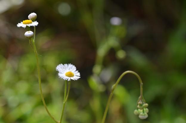 Erigeron quercifolius 3-15-20