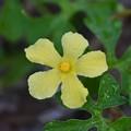 Momordica charantia 3-24-20