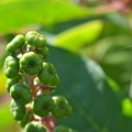 Young Pokeberries 3-24-20