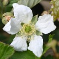 Southern Dewberry I 3-24-20