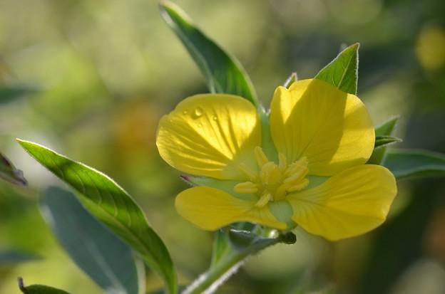 Peruvian Water Primrose 3-24-20