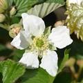 Southern Dewberry II 3-24-20