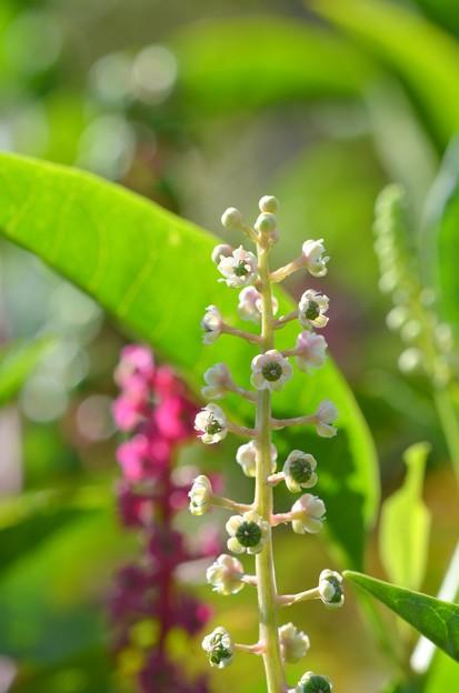 Phytolacca americana 3-24-20