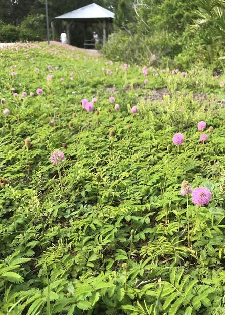 Sunshine Mimosa Flowers 4-17-20
