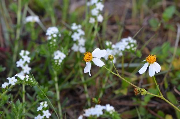 Spanish Needles and Pineland Heliotrope 4-19-20