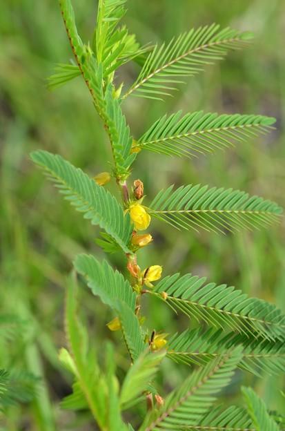 Chamaecrista nictitans 4-29-20