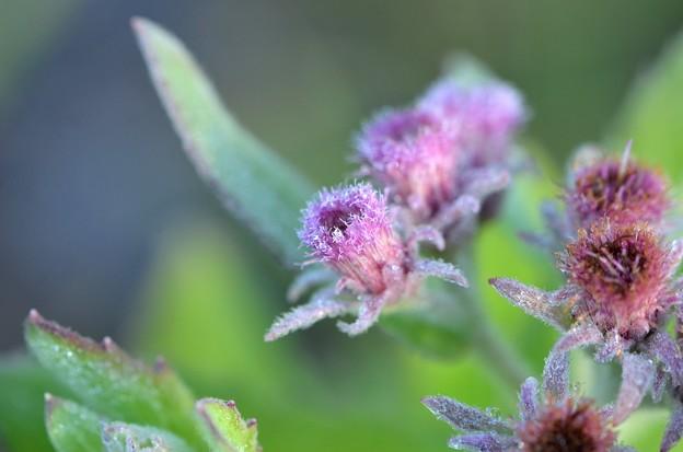 Rosy Camphorweed 5-6-20