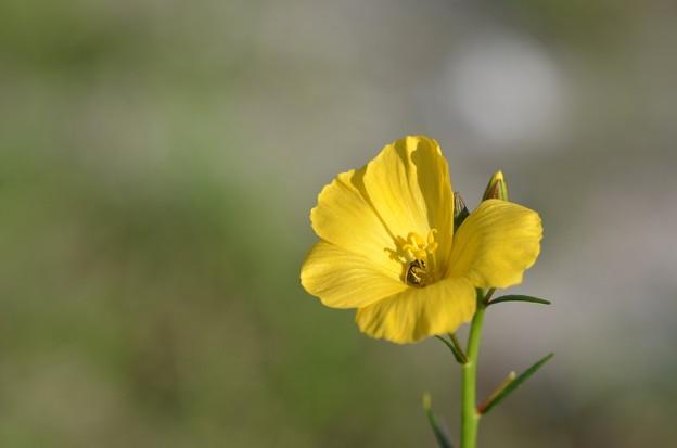 Piriqueta cistoides subsp. caroliniana 5-6-20