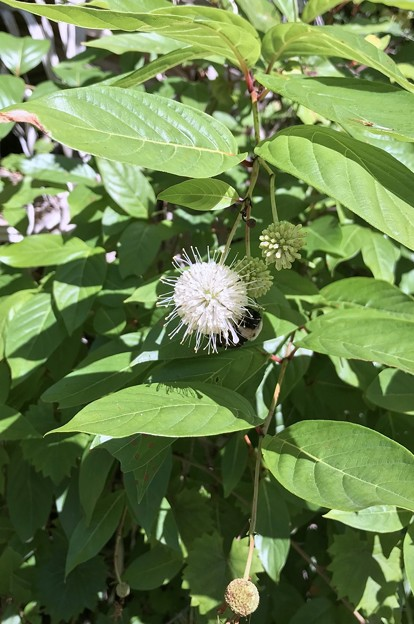 Common Buttonbush 5-11-20