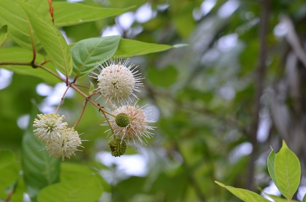 Buttonbush II 5-14-20