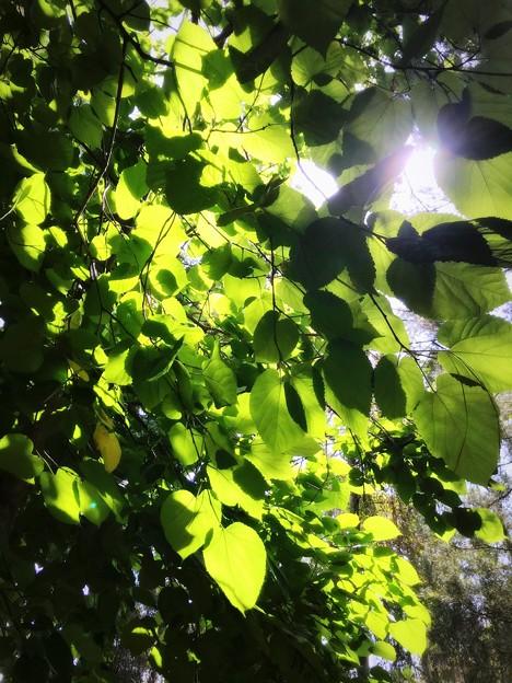 Tilia americana L. var. caroliniana 5-27-20
