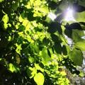 Photos: Tilia americana L. var. caroliniana 5-27-20