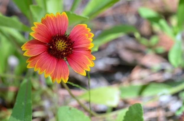 Gaillardia pulchella 5-27-20